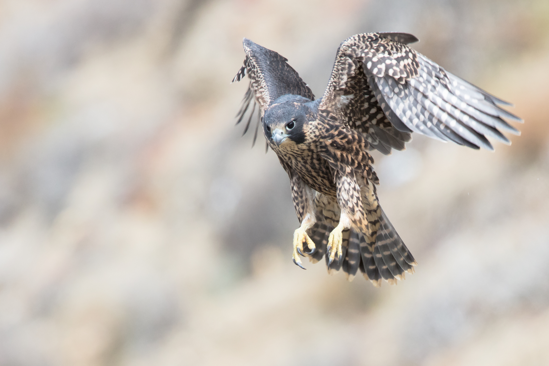 The flight patterns of falcons could help researchers develop drones specifically designed to take down other rogue drones.
