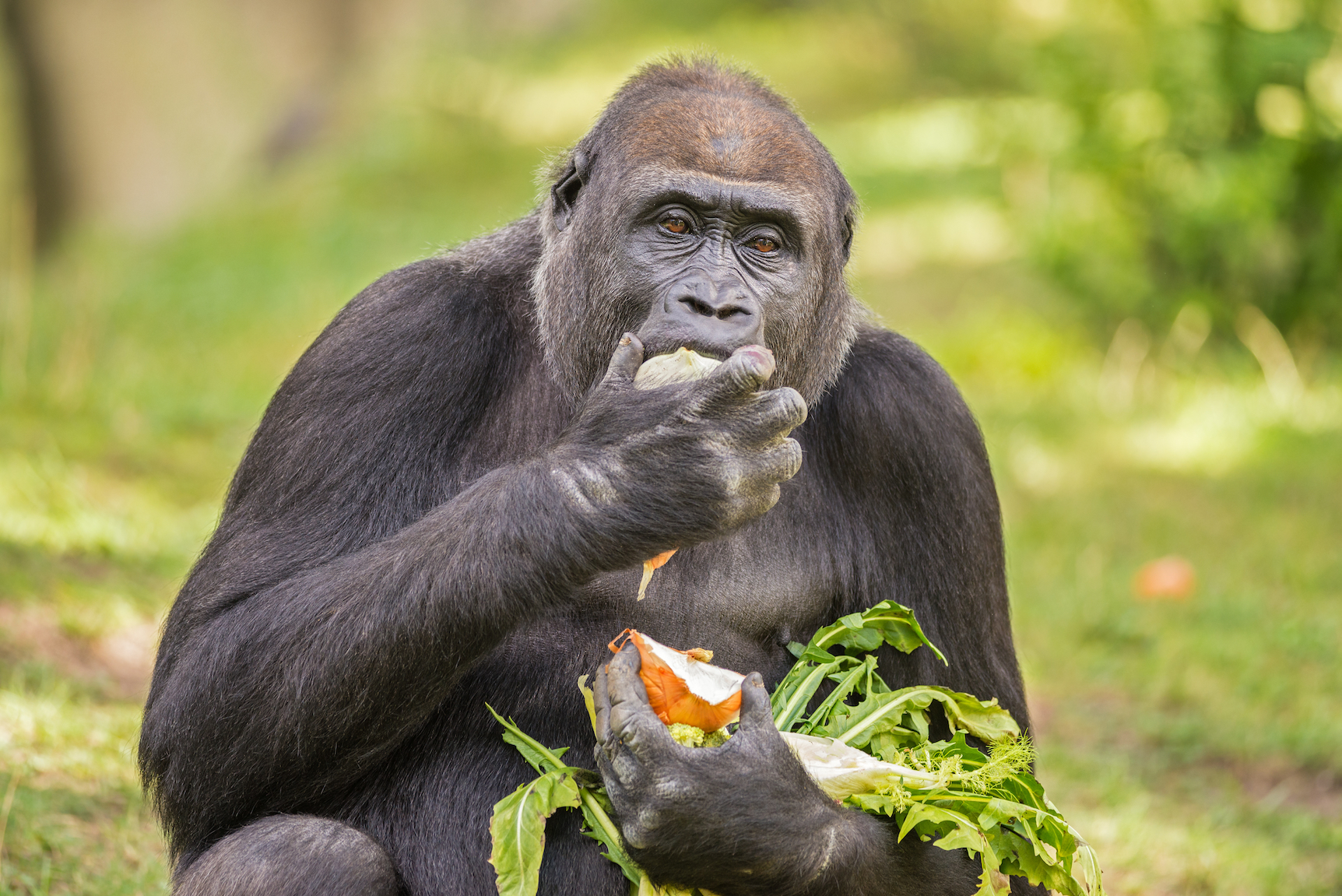 Researchers found that gorillas spontaneously learn to clean their food without having to observe the behavior in others.