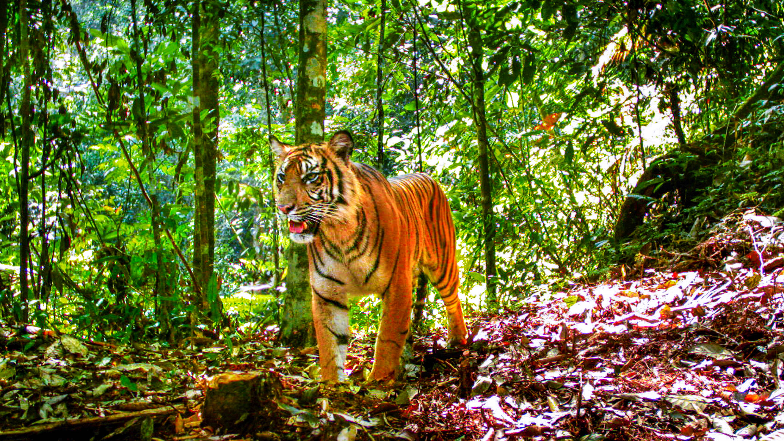 Already-endangered tigers in the Sumatran jungle could face steep population declines if their jungle habitats undergo any more deforestation.
