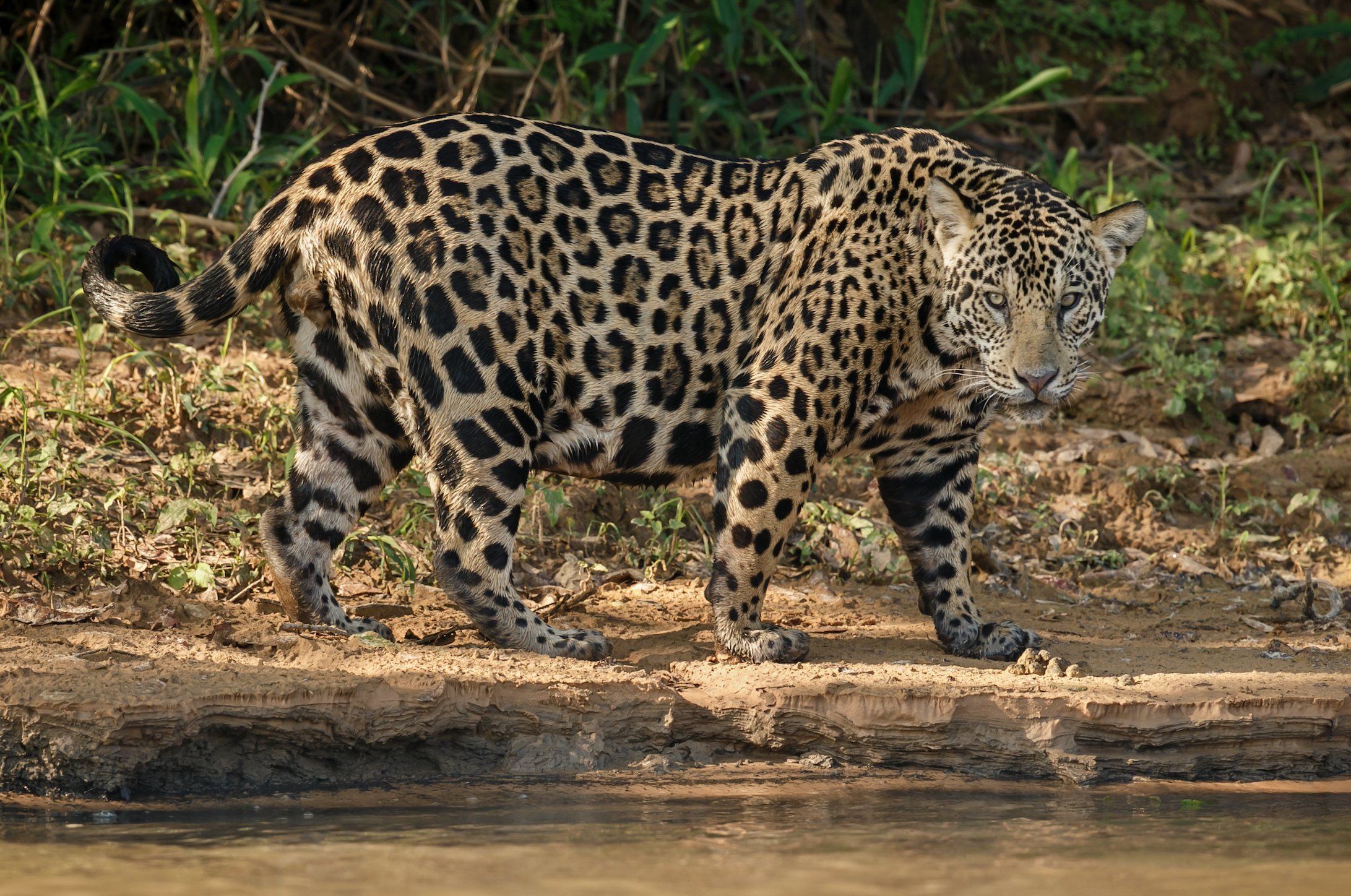 With climates trending warmer, there is the potential of more conflict between jaguars and American cattle ranchers.