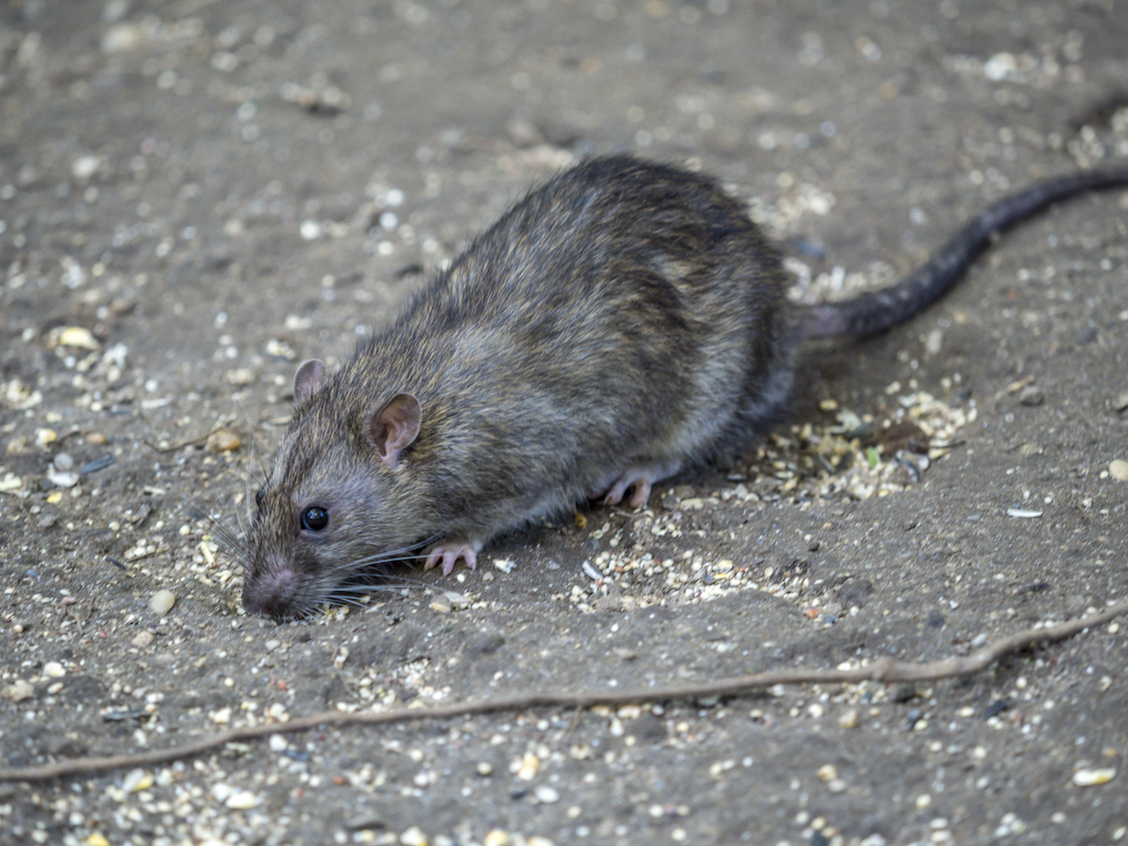 Science could offer a new solution to city pest problems by genetically modifying rats to be infertile or only have male offspring.