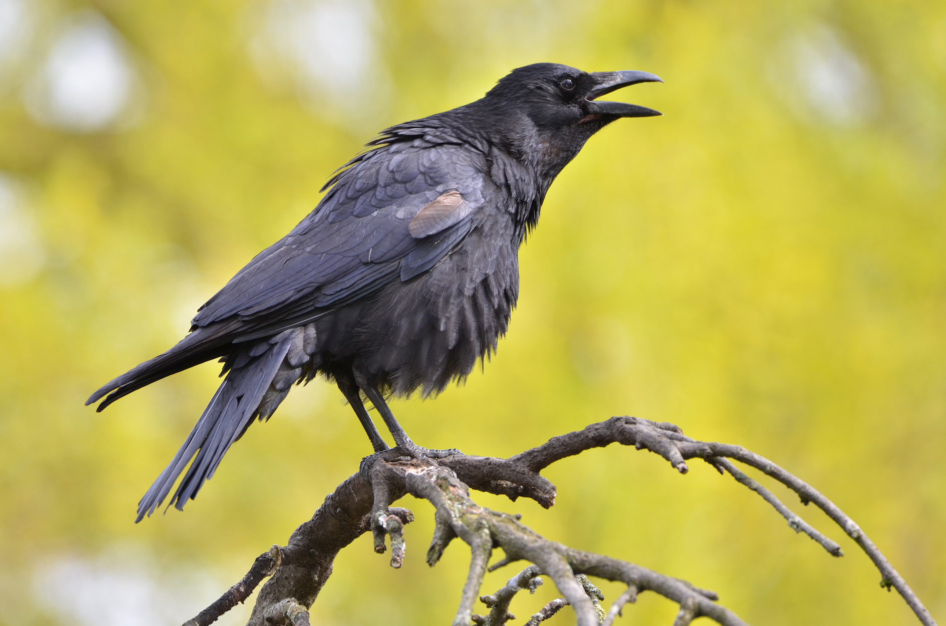 Biologists set out to examine how crows fashion their most sophisticated tool, a stick with a hook at the tip.