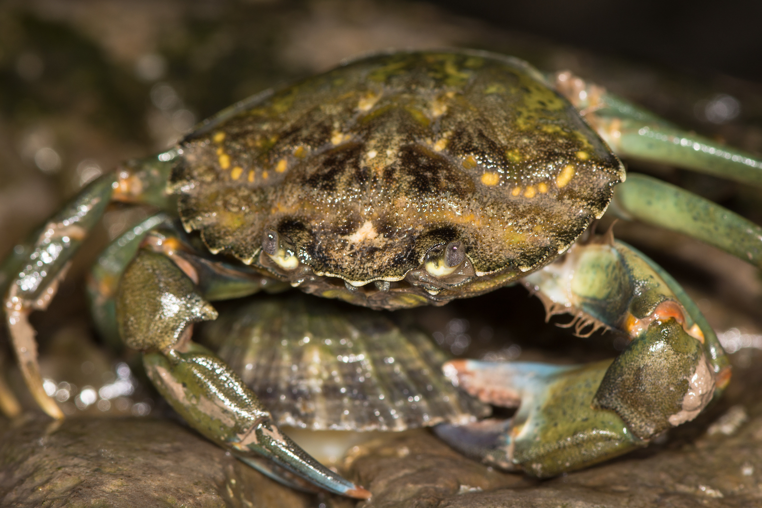 The North Sea native green shore crab is a cannibalistic predator that can survive extremely harsh conditions like low oxygen.