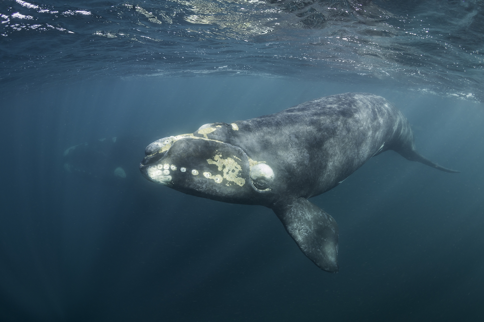 North Atlantic right whales are on the brink of extinction, according to a new report from the federal government.