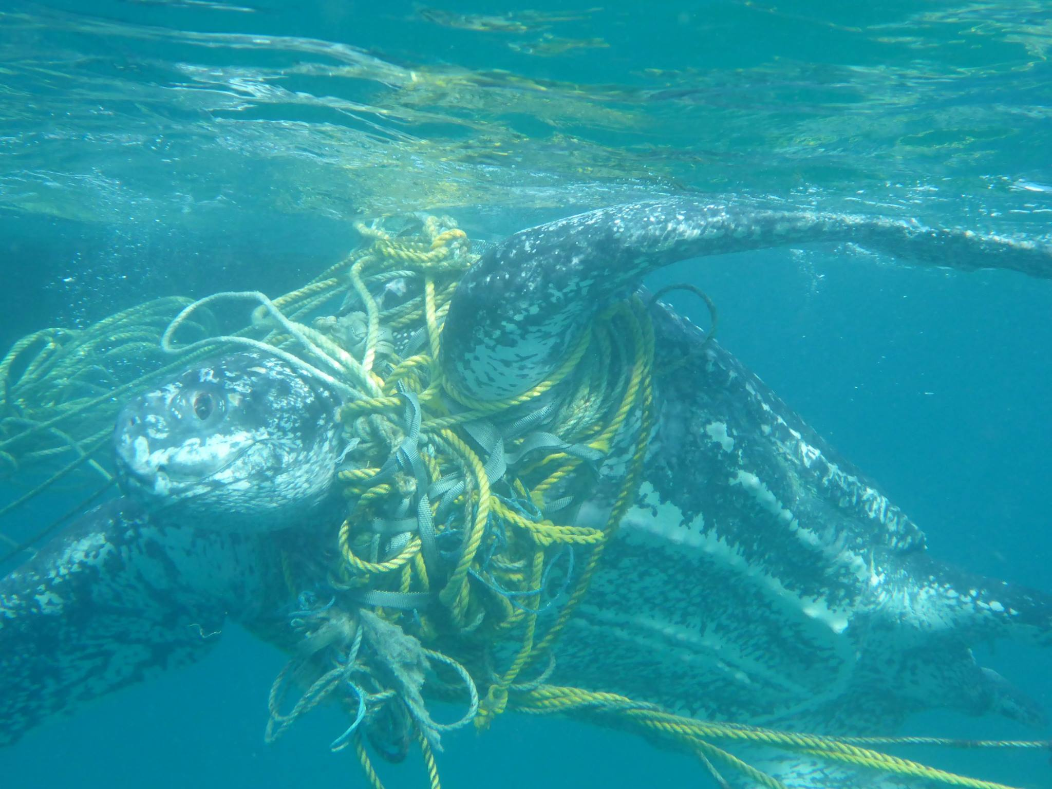 Hundreds of marine turtles are killed each year from becoming entangled in waste found in oceans and on beaches.