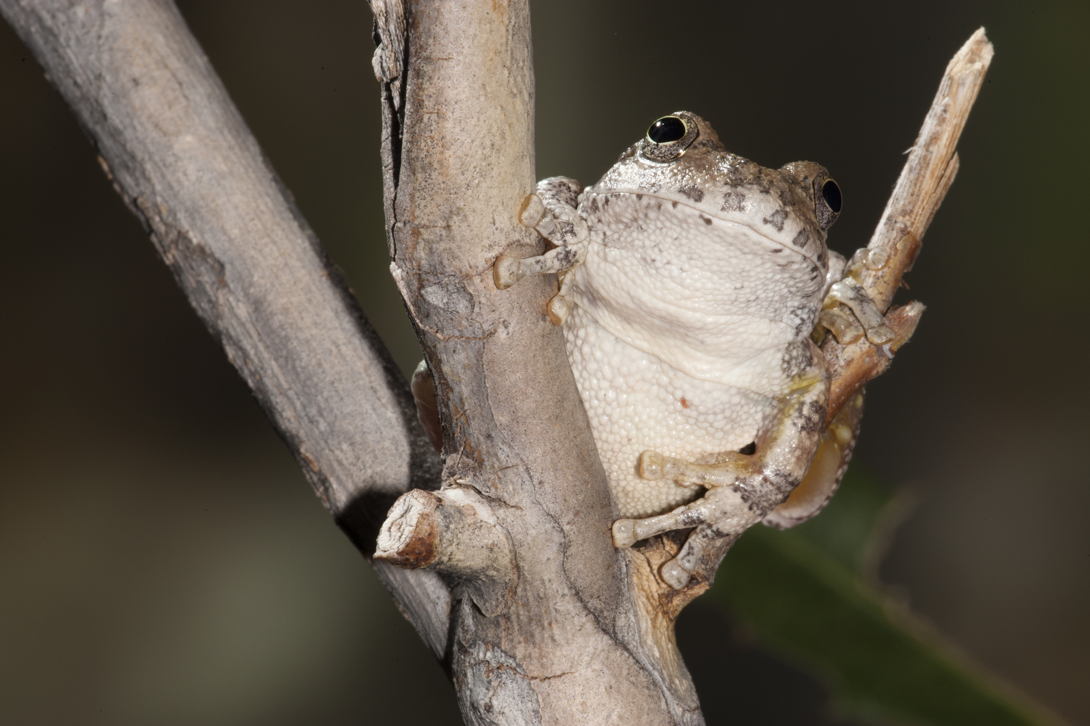 Canyon Tree Frogs are an enigmatic desert amphibian of the South West. A deep canyon shelters them in Bear's Ears National Monument.