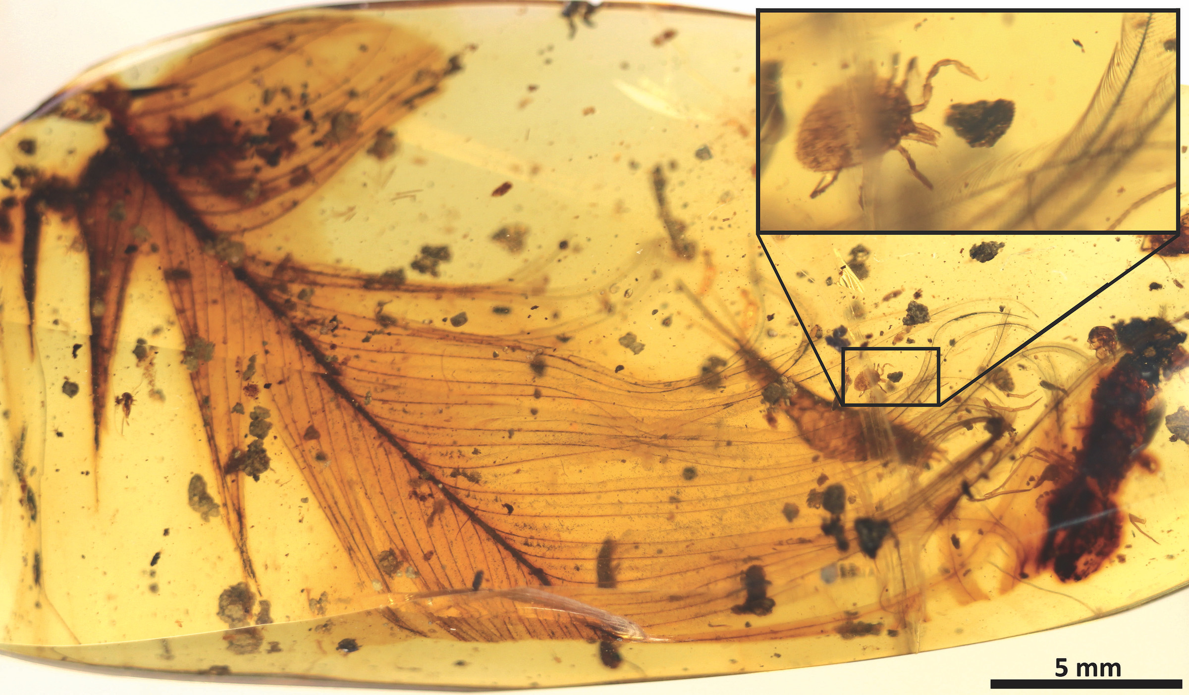 A new report examines ticks trapped in amber that reveals how these blood-sucking parasites thrived as far back as the Cretaceous period.