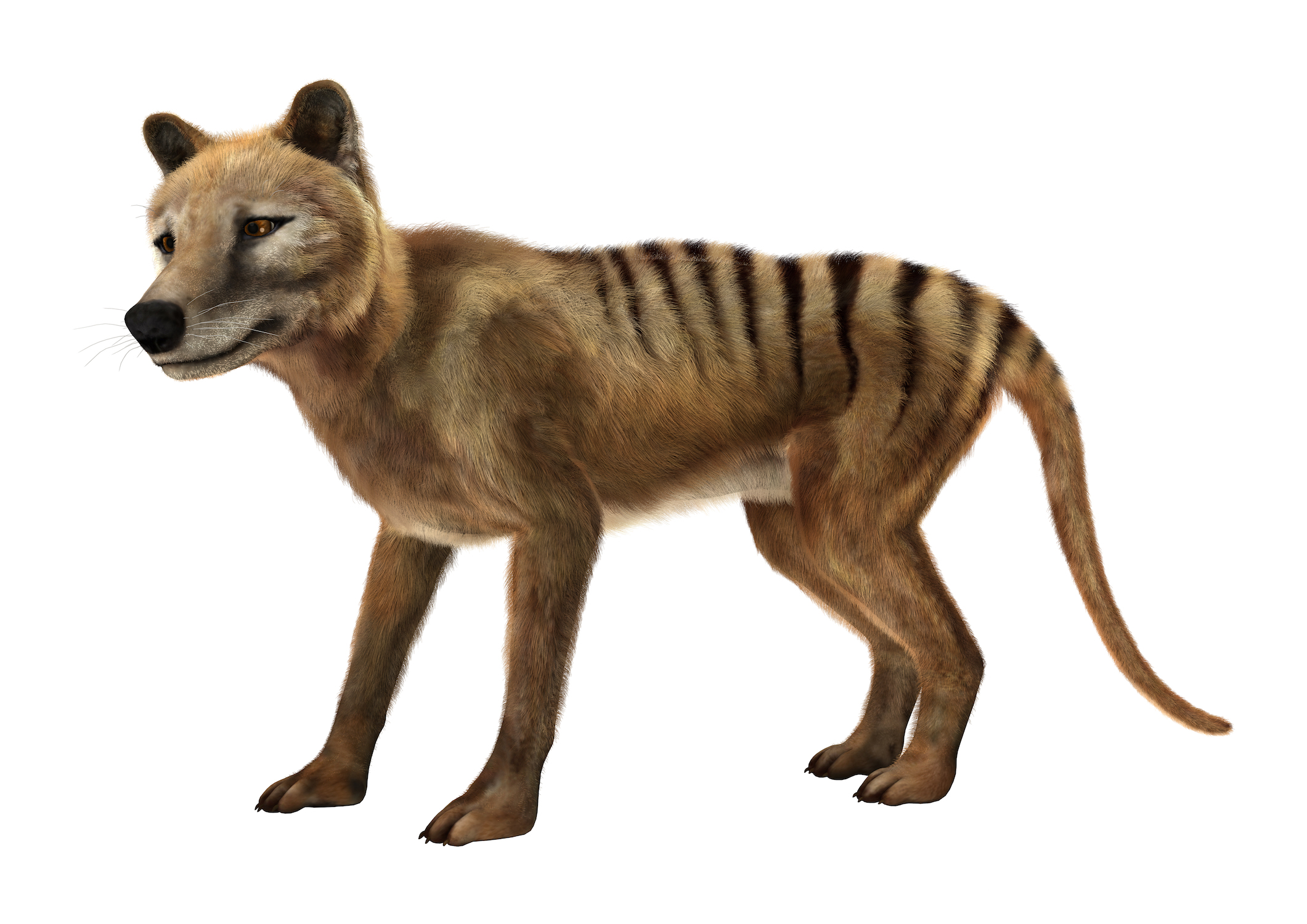 Scientists are one step closer to bringing back a long-extinct species known as the Tasmanian tiger, or thylacine.
