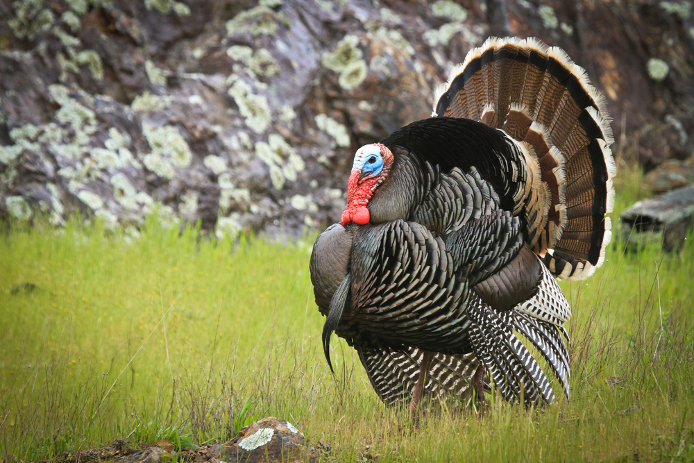10 facts about turkeys