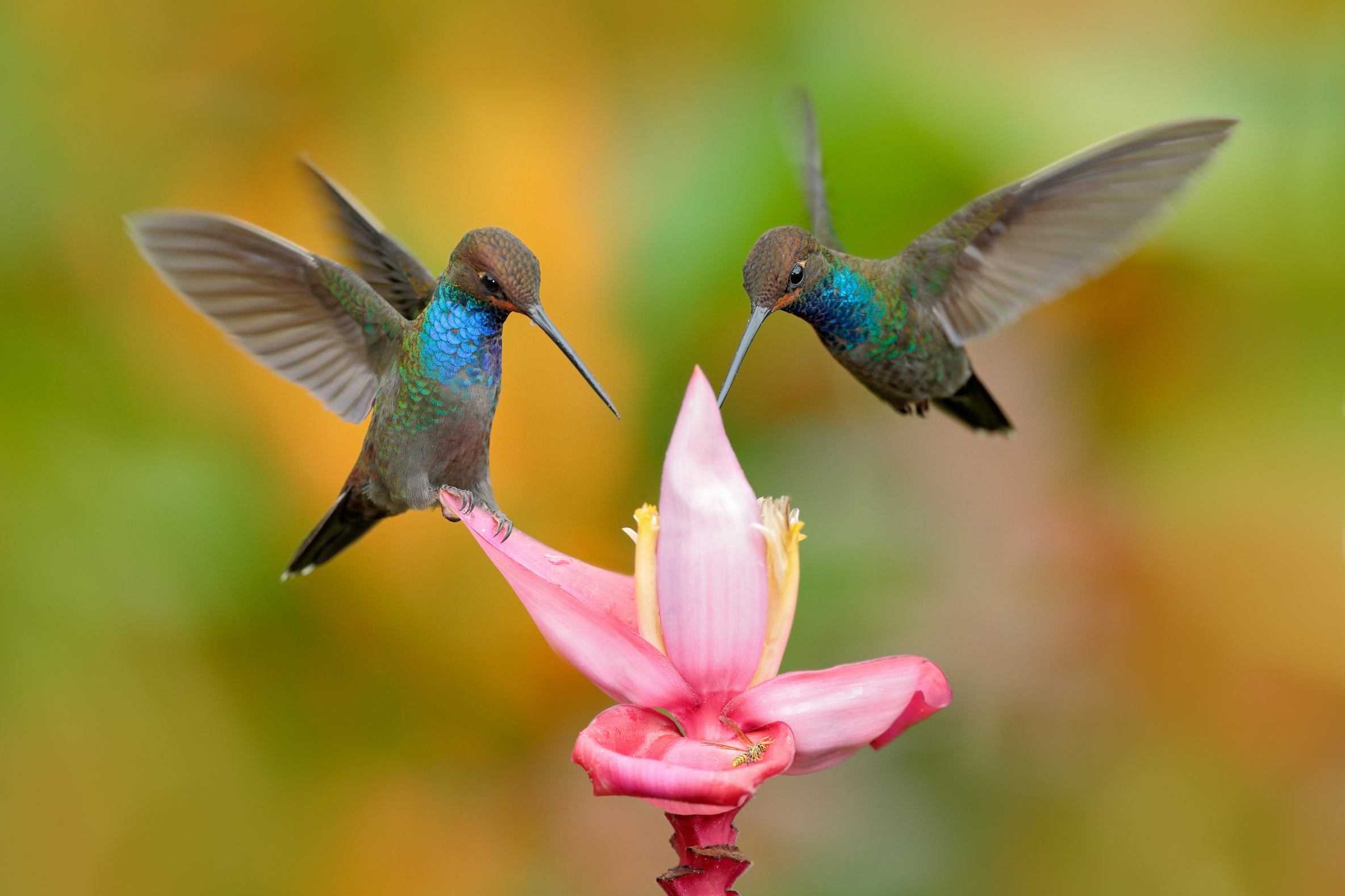 Most people think of hummingbirds as exotic tropical animals but they've been found in every US State –except Hawaii.