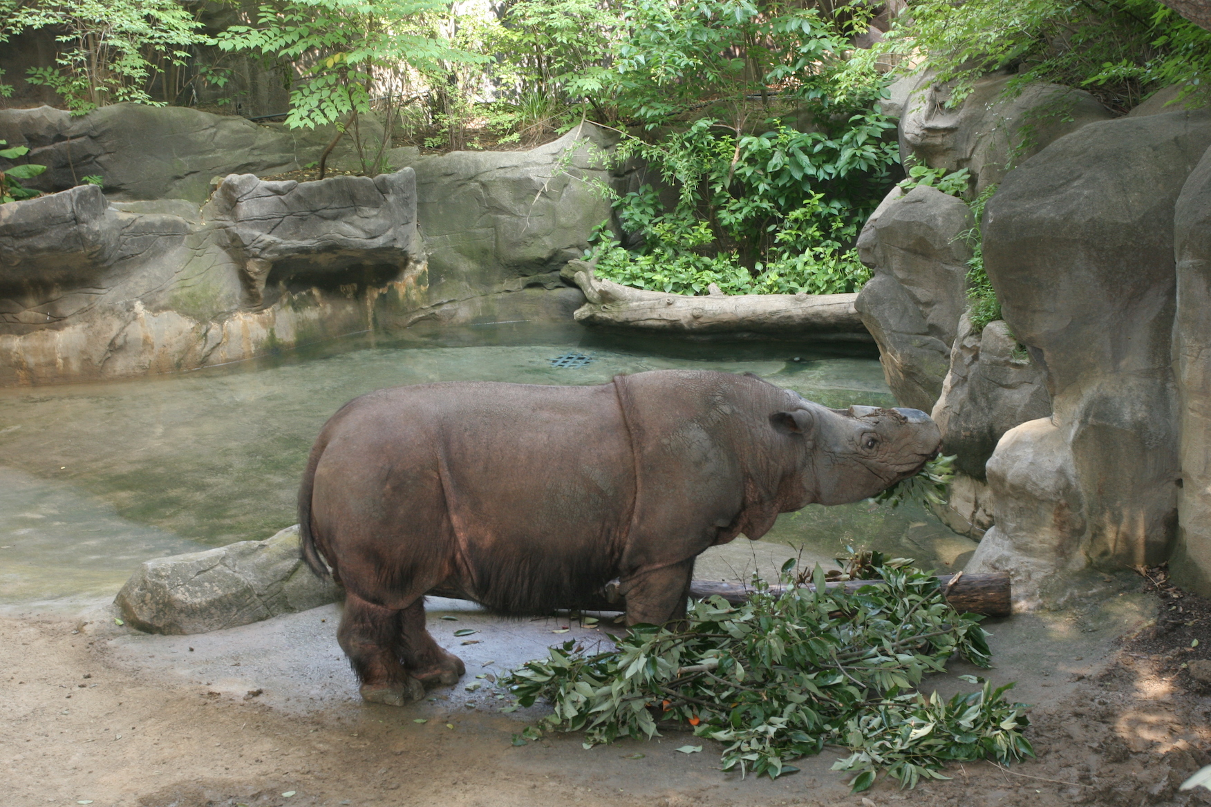 There were only an estimated 200 Sumatran rhinoceroses living in the wild by 2011, making them one of the most endangered species on Earth.