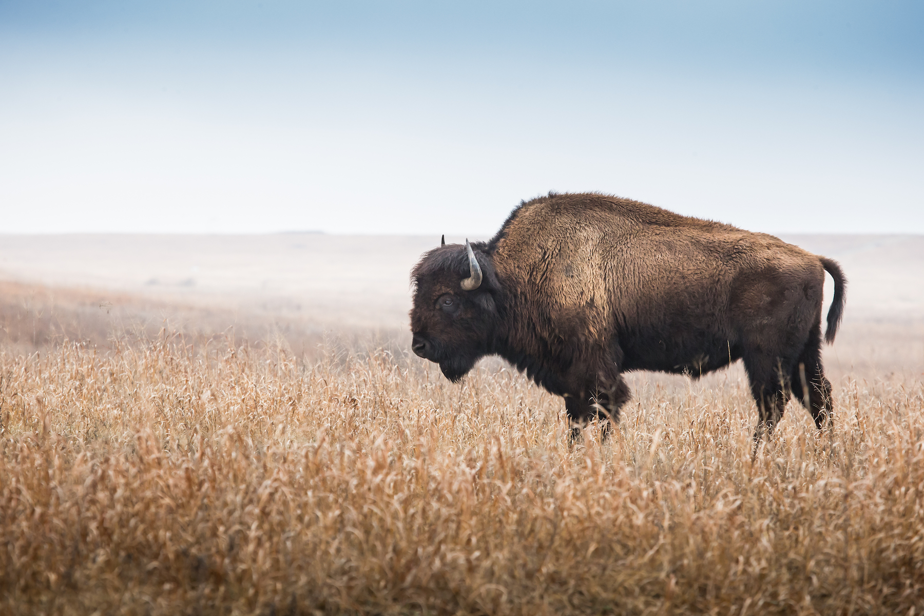 The survival of bison has depended on a complete change of policy and practice for both the American government as well as its citizens.