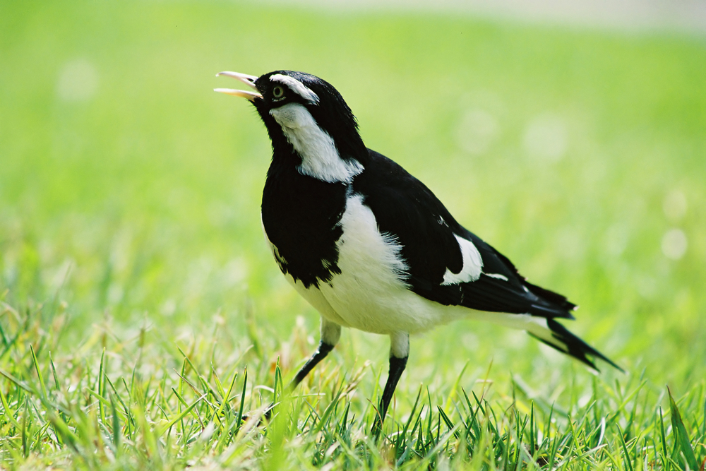 A new study has found that songbirds dance to communicate, too.