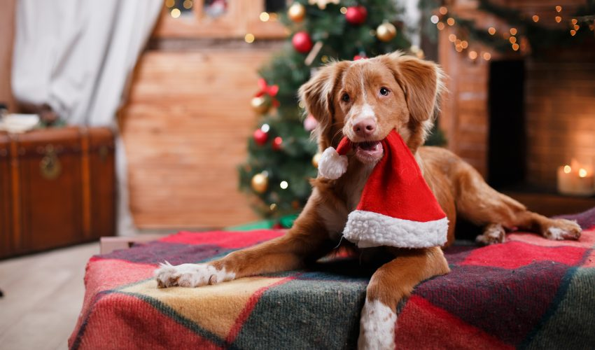 The holidays cause an increased risk of chocolate poisoning in dogs because there's more chocolate left out in the house.