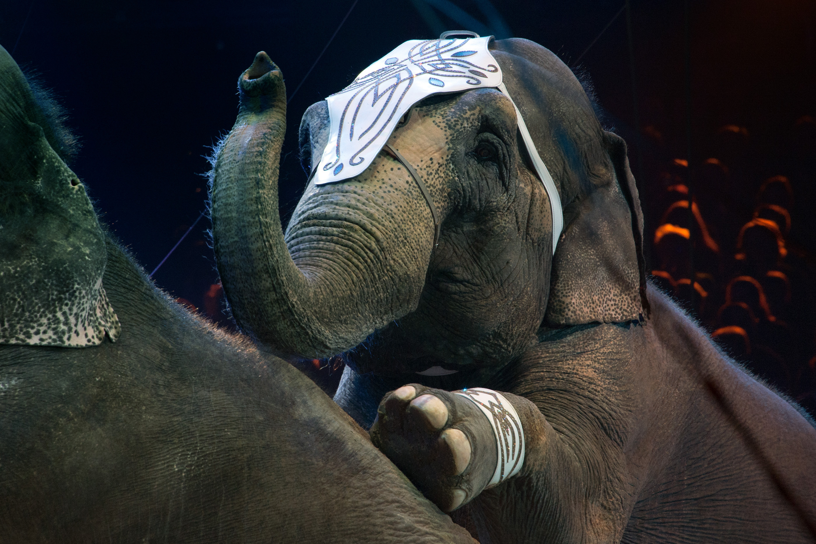Scotland has now passed new legislation that bans the use of all wild animals in circuses and traveling entertainment shows.