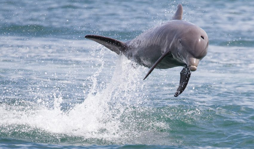 Experts are reporting that bottlenose dolphins in the Bocas Del Toro Archipelago of Panama should be designated as endangered.