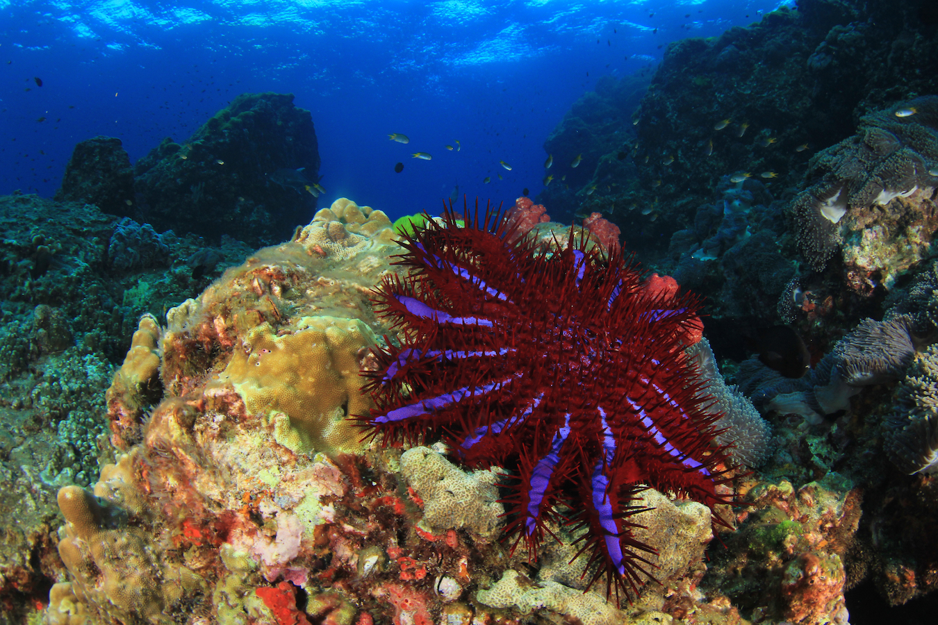 Researchers have collected and published the best scientific research on preventing coral-eating Crown-Of-Thorns Starfish (COTS) outbreaks.