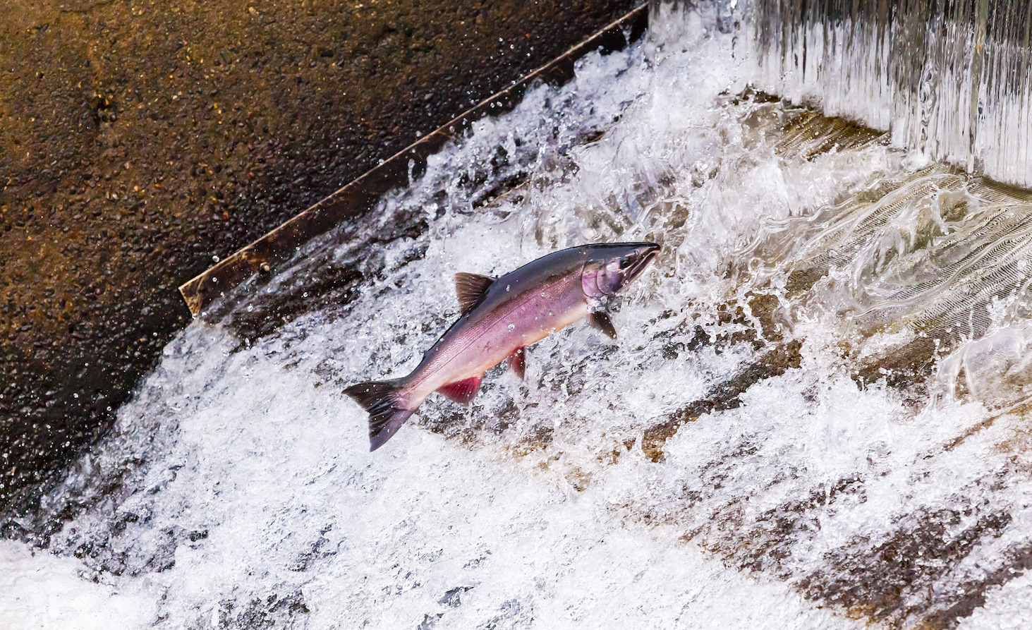 The salmon hatchery that decided to truck their fish to the ocean are now facing severely depleted reproduction numbers.