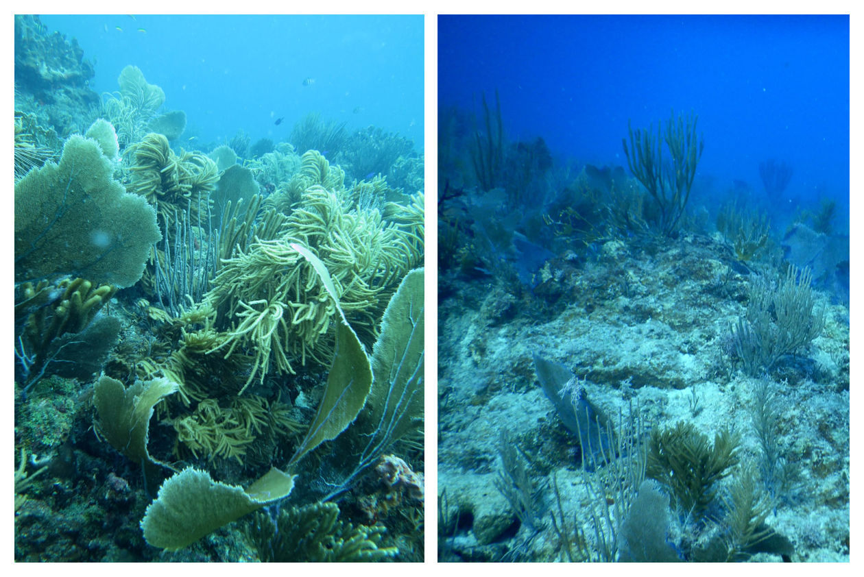 2017's hurricanes, while devastating to the corals, also presented a unique opportunity to monitor how corals recover from major harm.