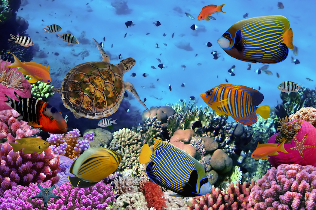The restoration of coral reefs has a positive impact on local fish populations, and the benefits can be seen almost immediately.