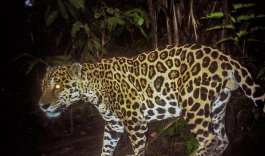 A jaguar named Aquiles is snapped by a camera trap in Cana, Panama. A new study shows that jaguar conservation requires more than just a desire to protect the cats. Residents living near jaguar habitat must also be educated on how they can help or harm jaguar populations.