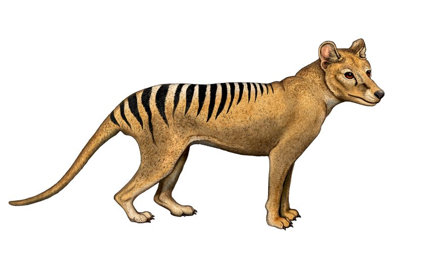 There is a parallel history between Tasmanian people and their iconic mammal, the Thylacine, and both have been called extinct.