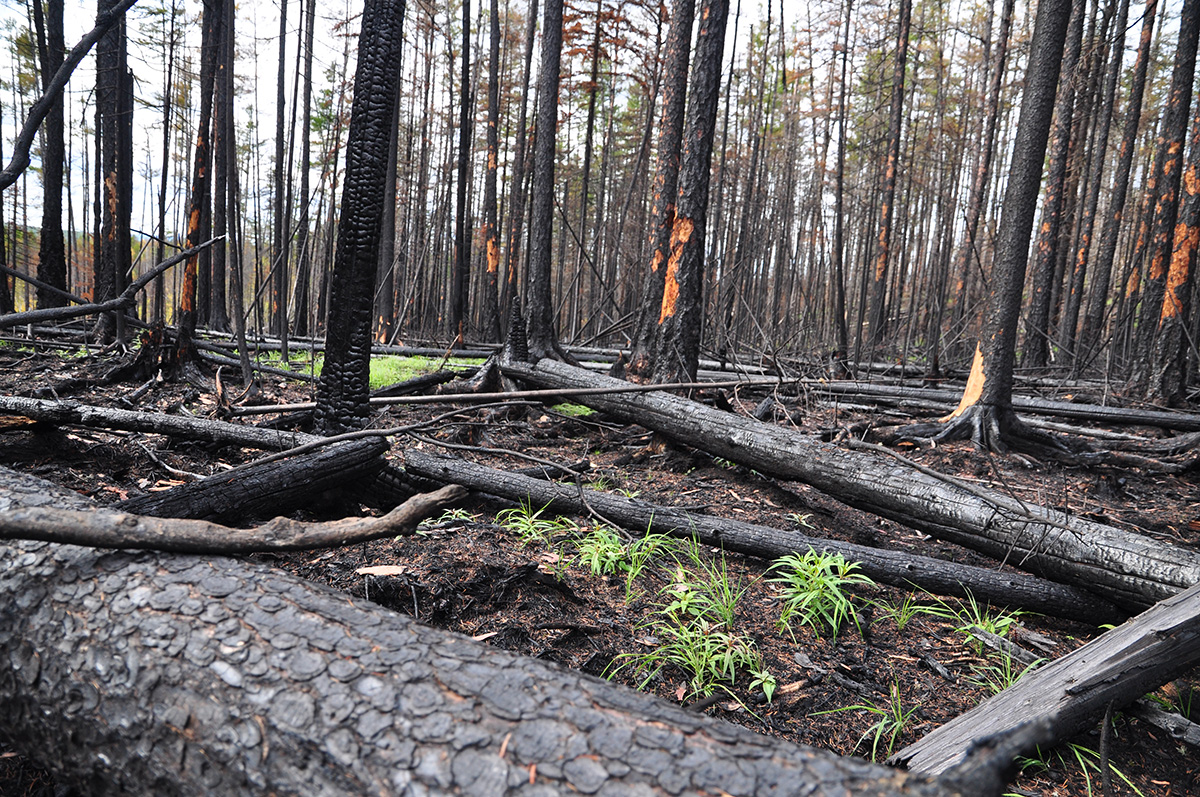 Researchers have found that charcoal remains left behind after a fire increased decomposition of organic matter and sped up carbon release.