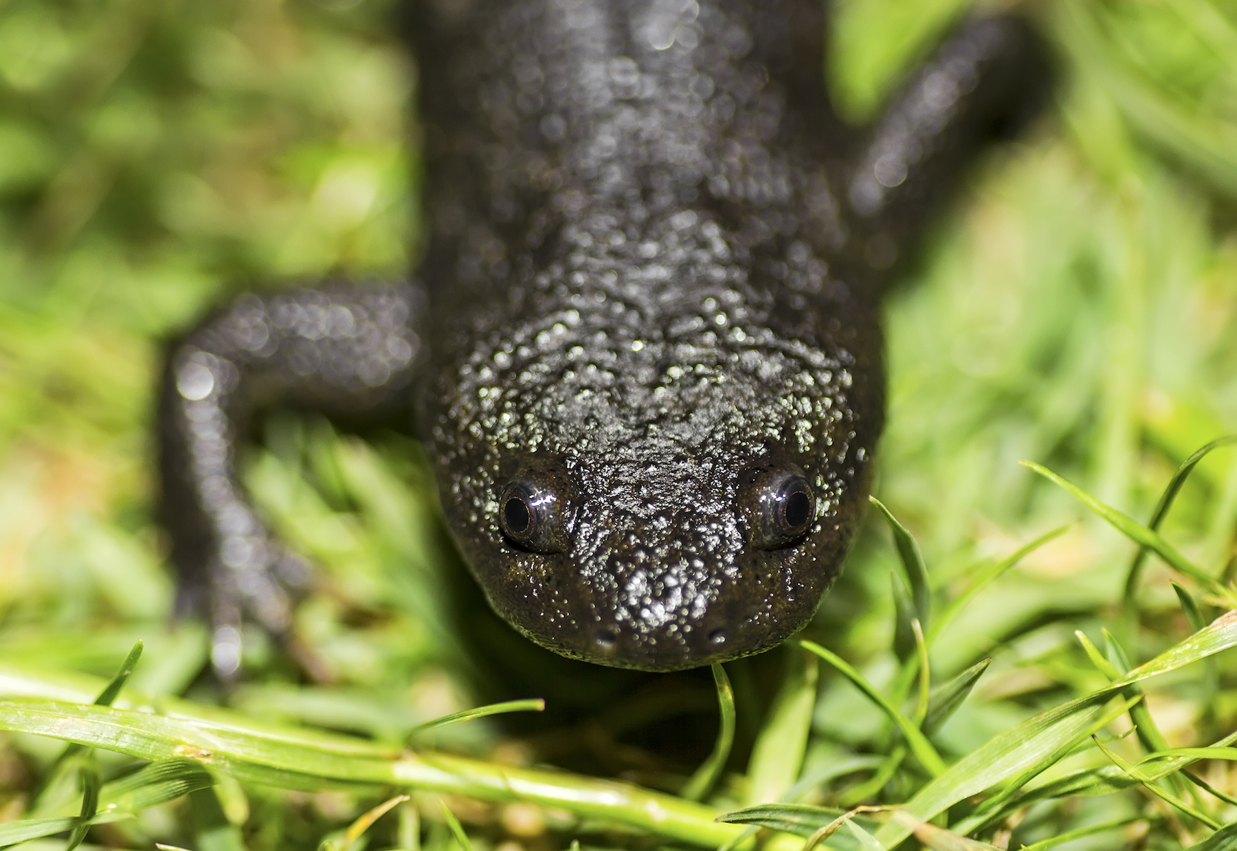 A new study has sequenced the expansive genome of a species of salamander and the results could someday allow humans to regenerate lost limbs.