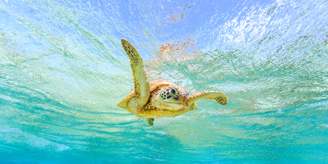 Green sea turtles along Australia's northern Great Barrier Reef (nGBR) are undergoing some dramatic changes as a result of climate change.