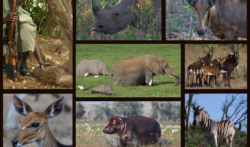 A new report reveals that war has been a consistent factor in the historical decline of large mammals in Africa.
