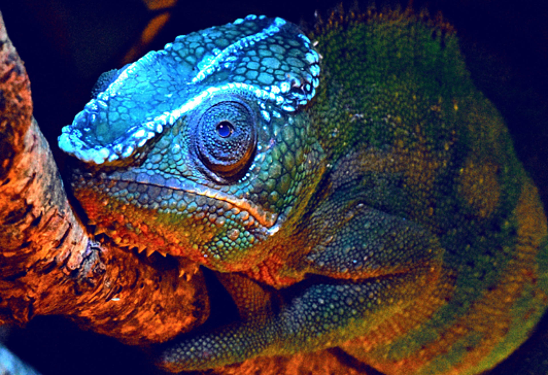 Chameleons have protrusions on their heads that glow bright blue under ultraviolet light, revealing incredible patterns.