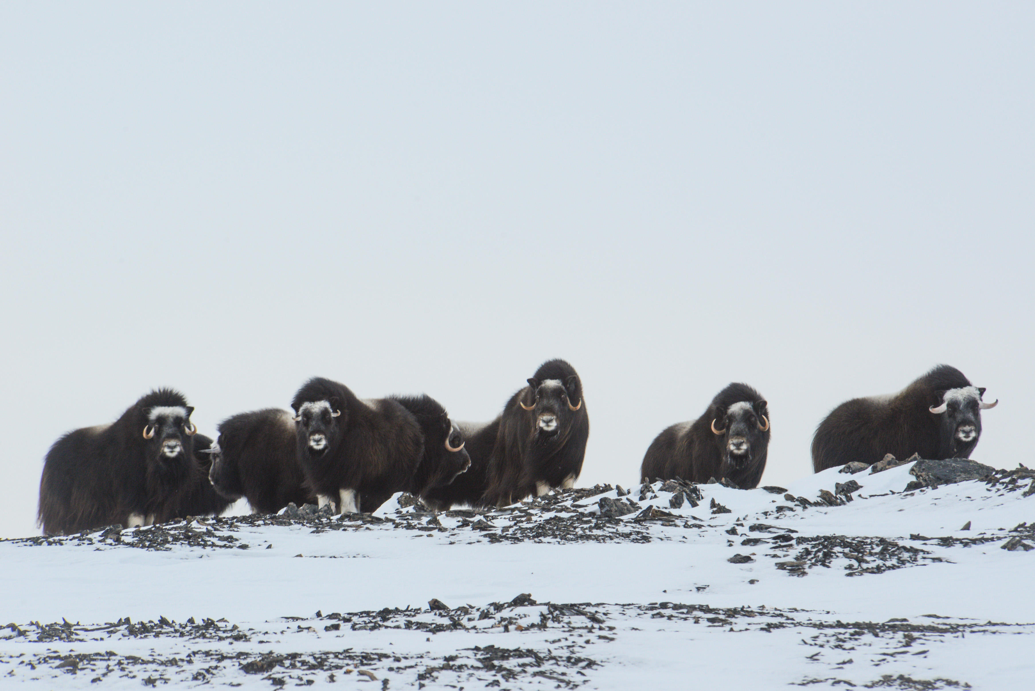 New research has revealed the effects of global warming on the muskoxen, which is the largest land mammal in the Arctic.