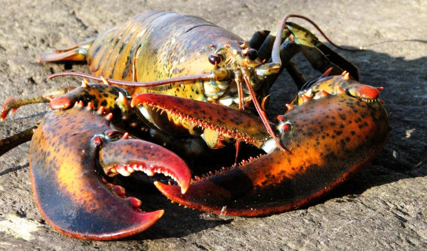 Conservation practices in Maine have helped reduce population declines and make the area lobster fishery resilient to climate change.