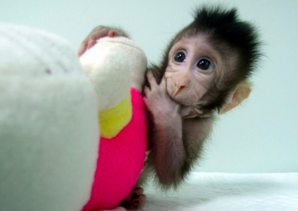 Two adorable monkeys have become the first ever primates cloned from transferred DNA and were born just six and eight weeks ago in China.