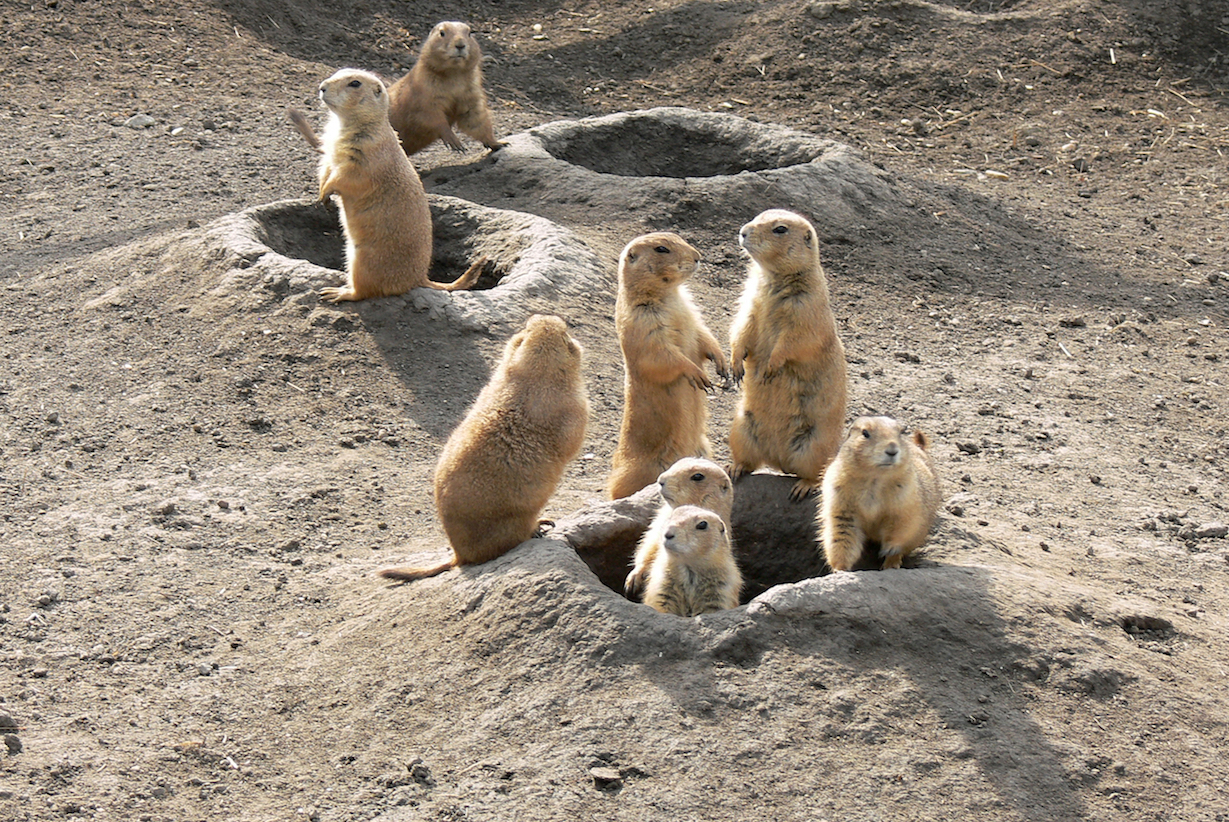 Prairie Dogs are often seen as little more than a pest, but they are important to other animals and the ecosystem as a whole.