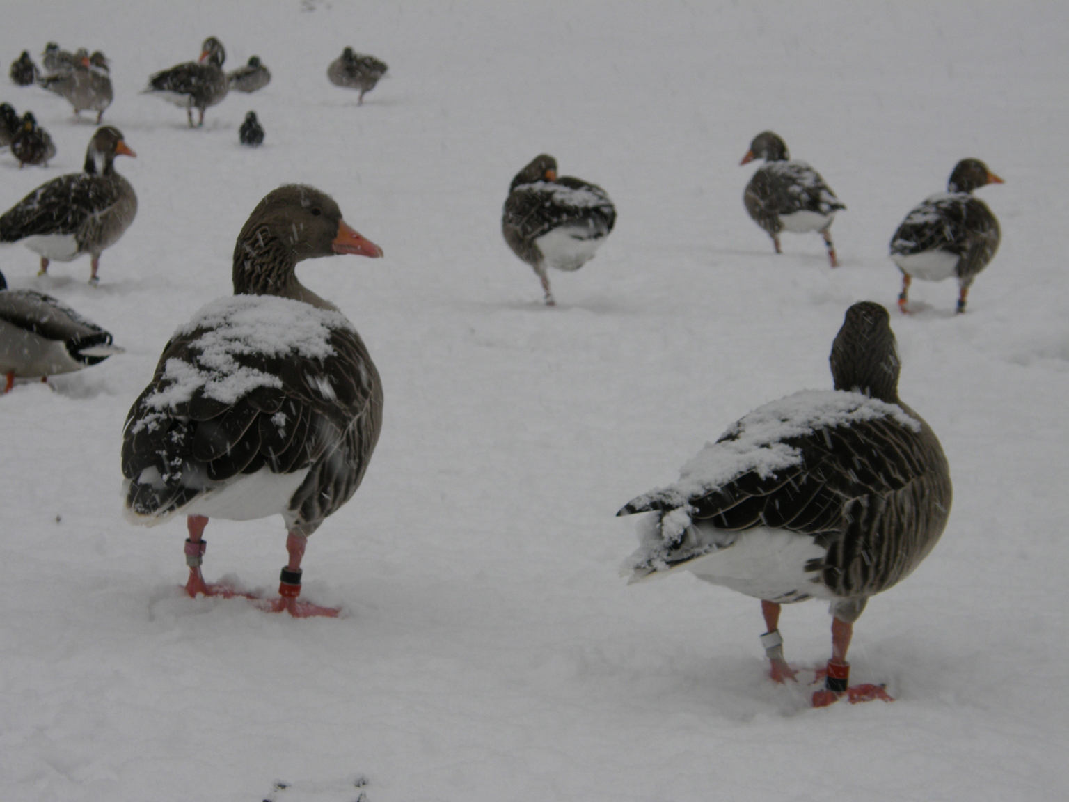 A new study has revealed that geese reduce their heart rate and body temperature in order to endure freezing cold weather.