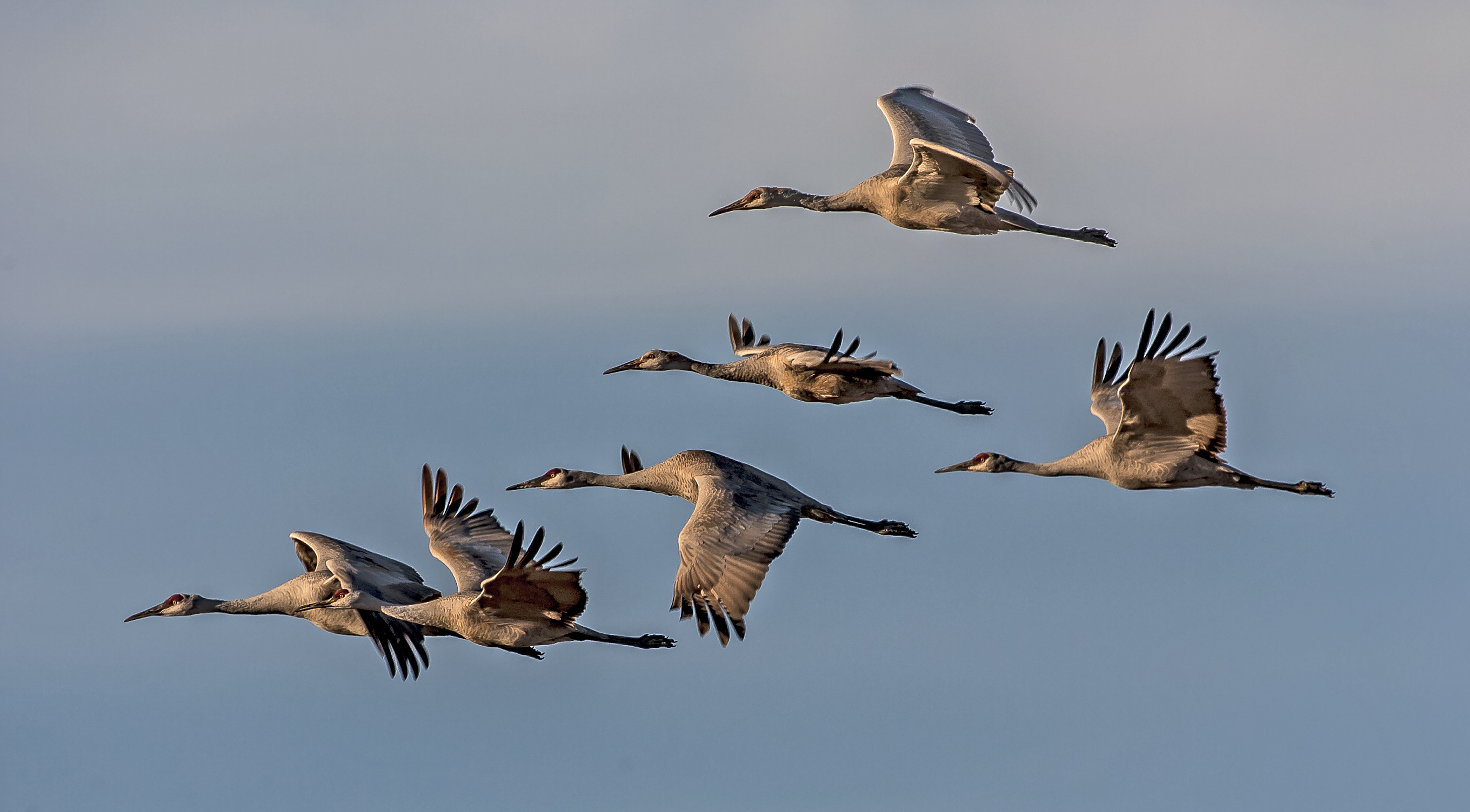 Great migrations can be magical, ancient, natural occurrences embedded into our ordinary lives, especially those of Sandhill Cranes.