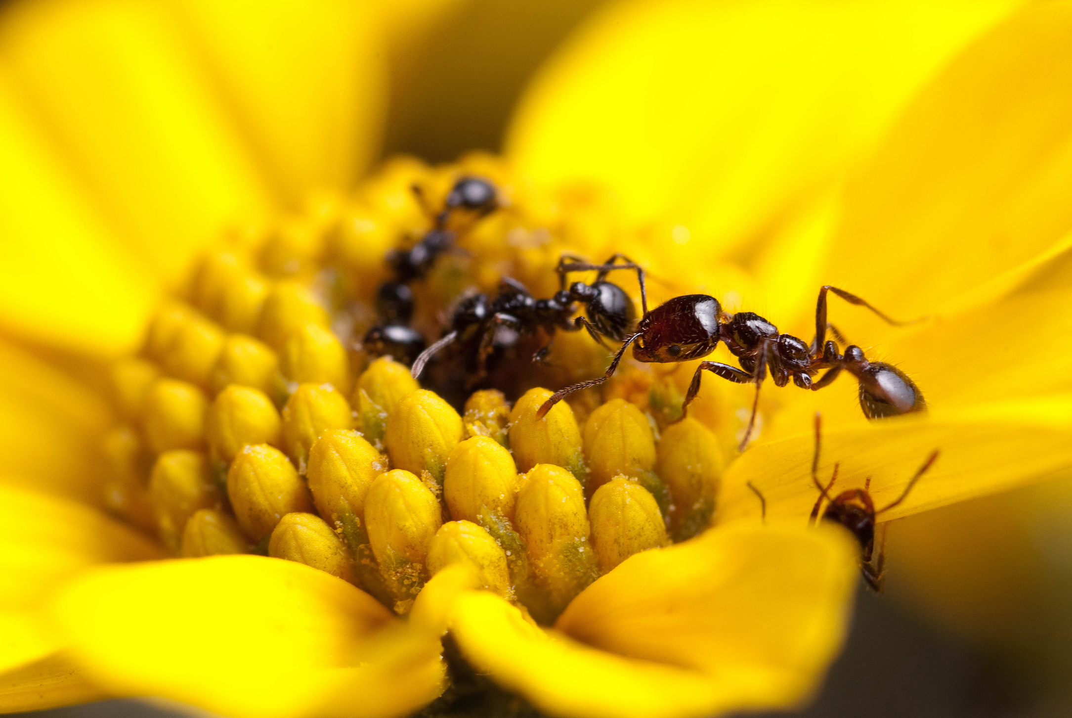 Many ant species are capable of producing their own antibiotics to fight off bacteria and disease and could even help humans.