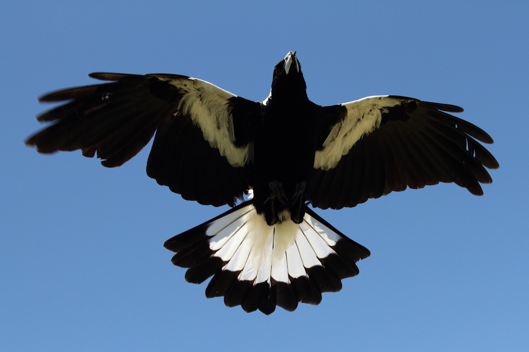 A new study has found that growing up in a large social group leads to Australian magpies being more intelligent.