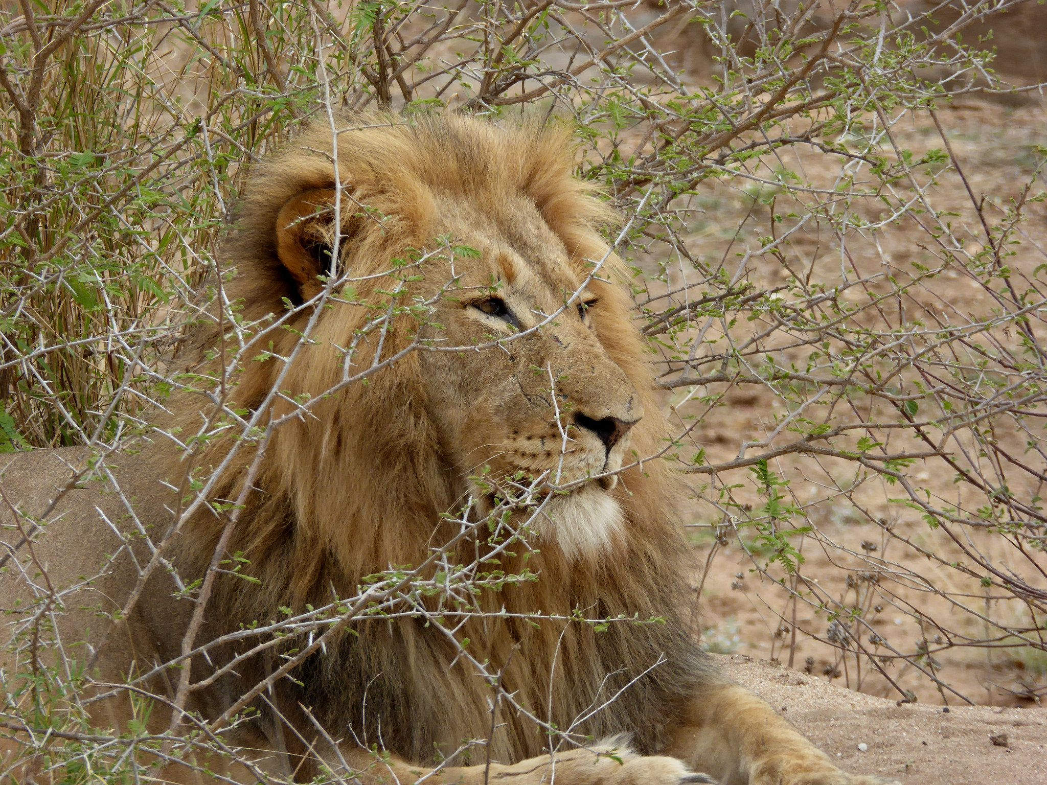 Although the lion population of Zimbabwe has recovered, there is new concern about low genetic diversity among the group.