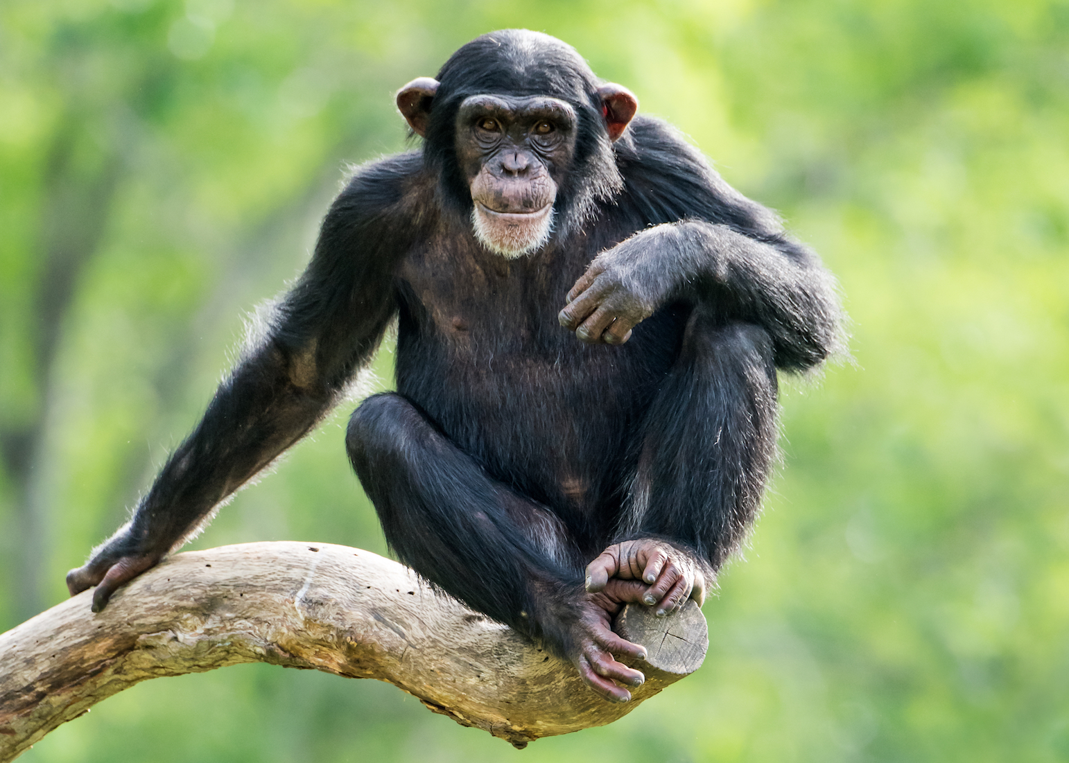 A chimpanzee's ability to control urges and delay gratification corresponds with the individual's level of general intelligence.