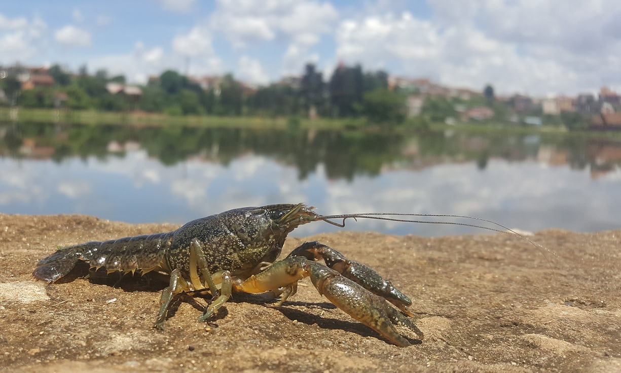 A species of mutant crayfish is now multiplying out of control all across Europe and also into parts of Africa.