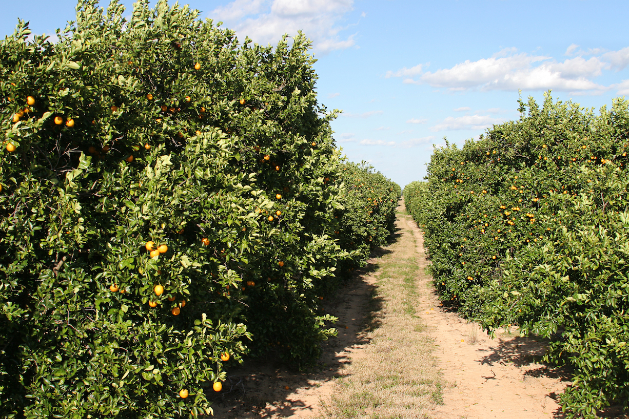 Just as the citrus industry in Florida was expected to recover from years of serious disease, Hurricane Irma struck.