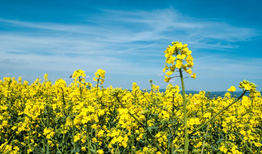 Rising temperatures will cause many species of crops in the cabbage and mustard family to prematurely release seeds.
