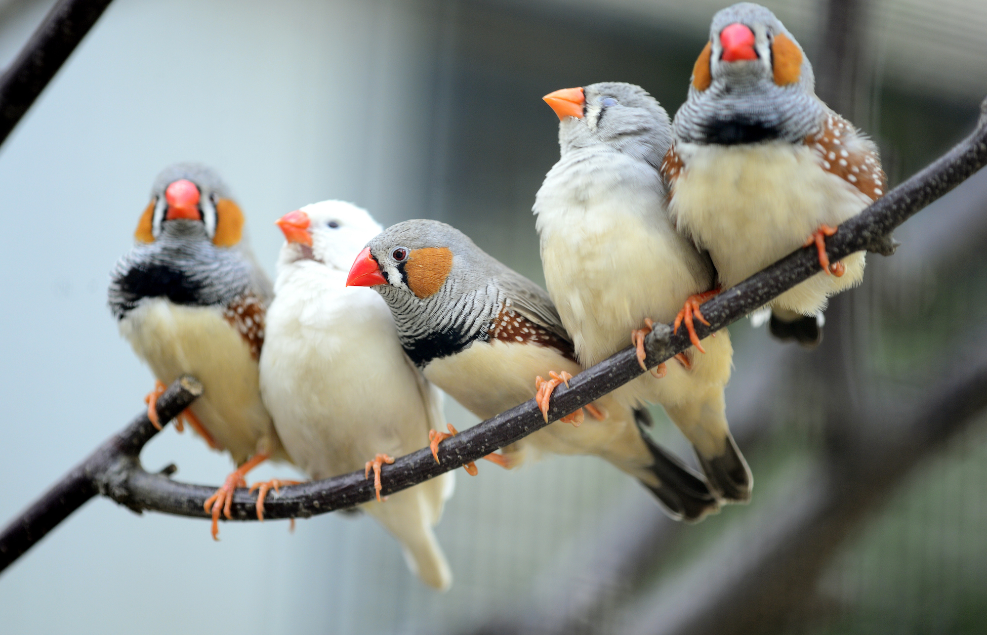 Zebra finches sing while they are dreaming as a way to practice their calls, try new improvisations, and mimic the songs of their friends.