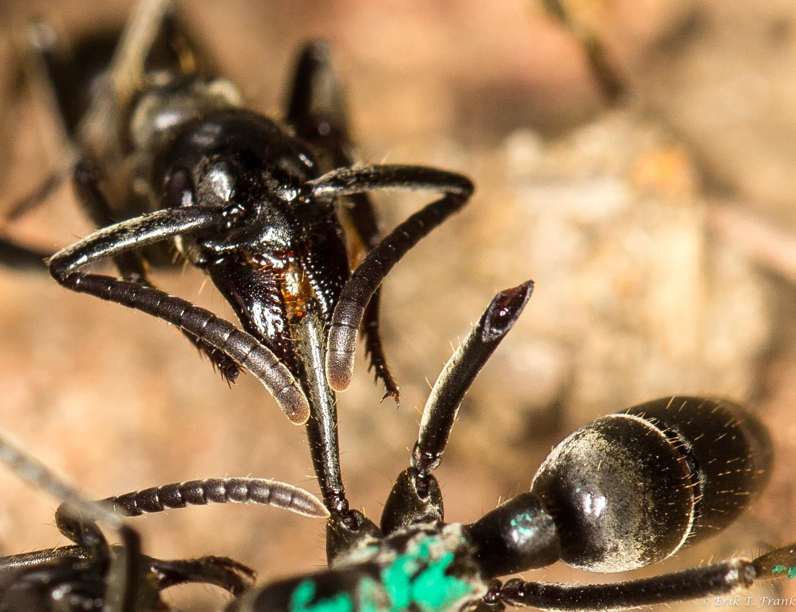 Researchers have made the incredible discovery that African Matabele ants treat each other's wounds and save each other's lives.