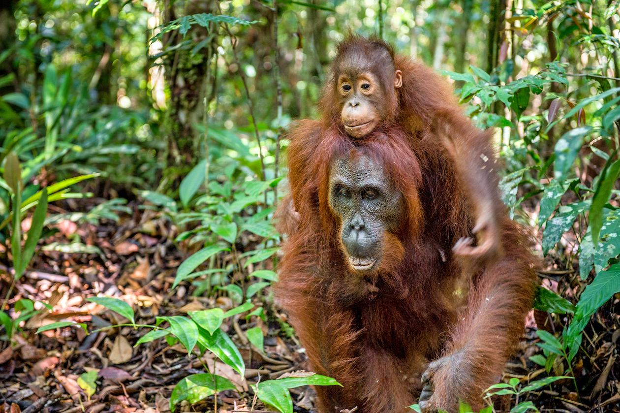 An international team of researchers has found that nearly 150,000 orangutans disappeared in Borneo between 1999 and 2015.
