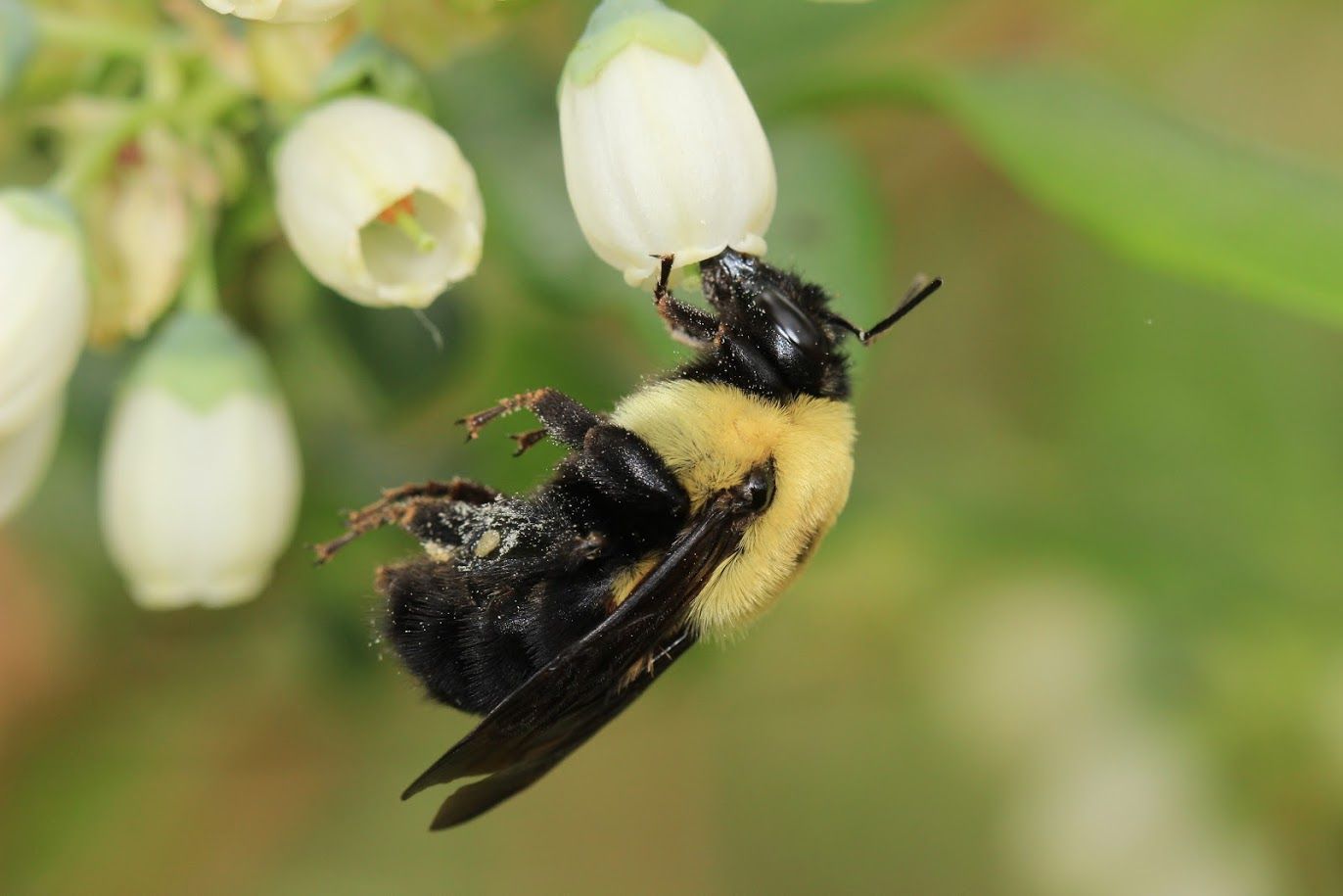 Researchers at Rutgers University are reporting that more species of wild bees are needed for vast regions of crops to thrive.