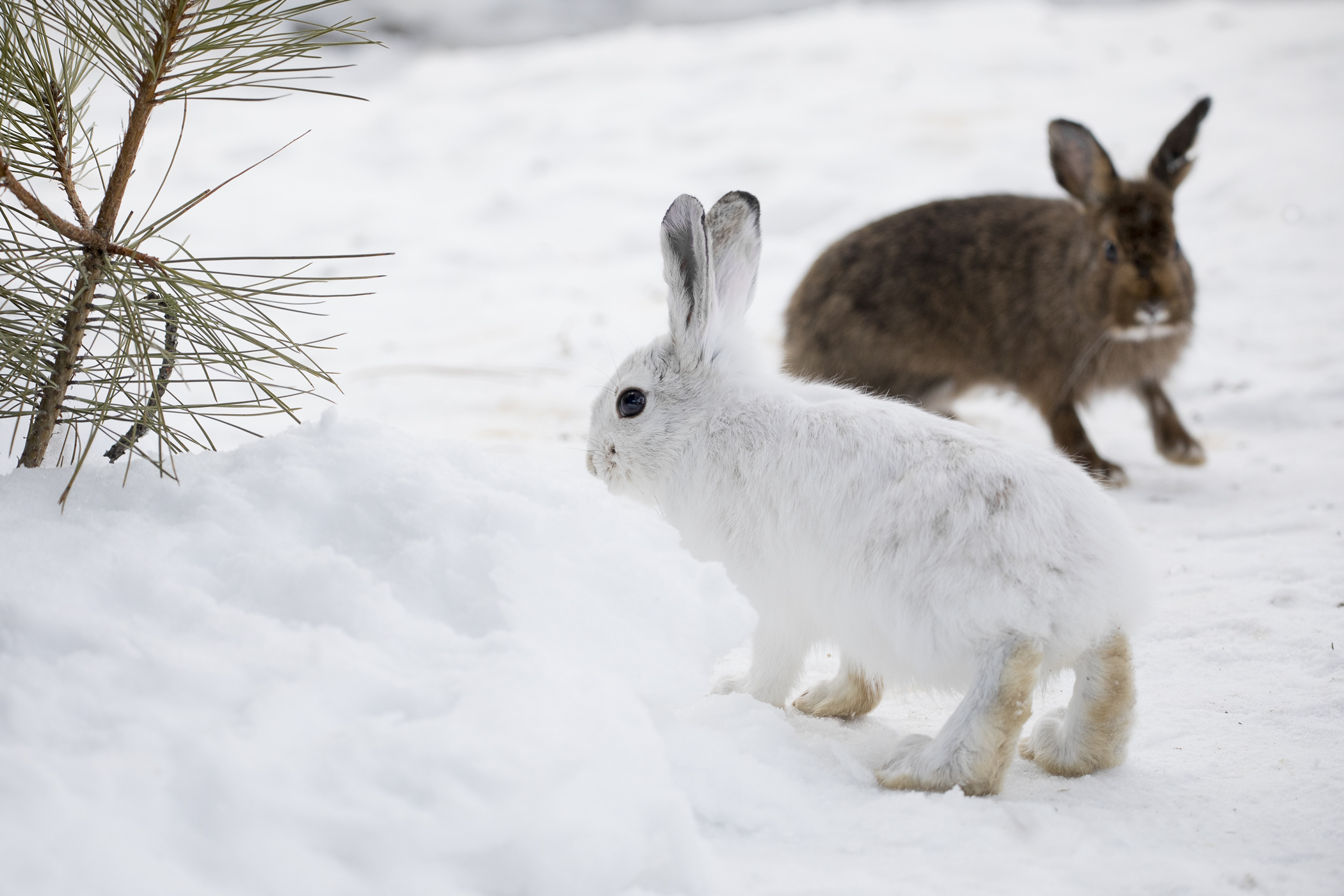 Animals Who Camouflage With The Season Affected By Climate Change