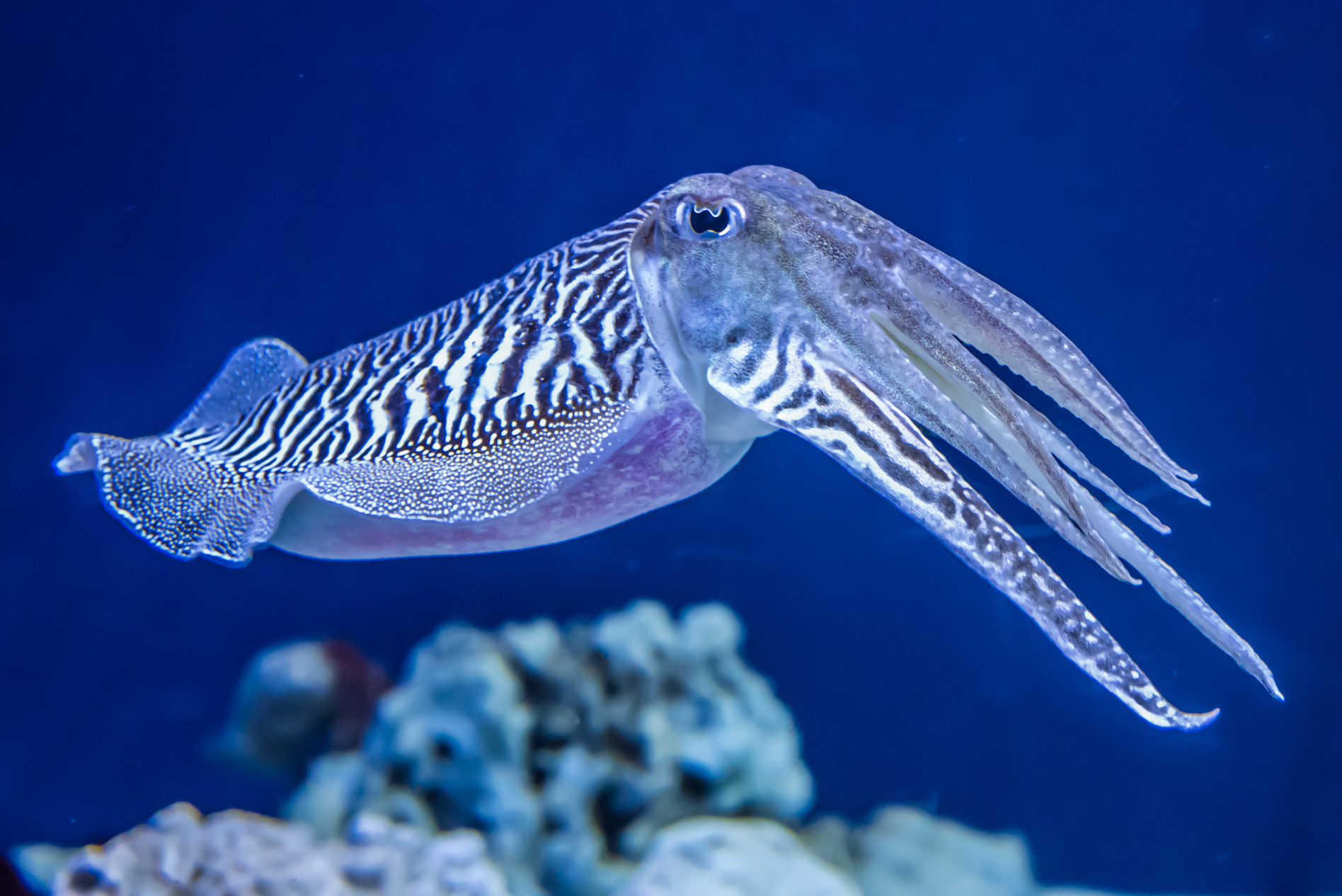 Cuttlefish are able to change texture and shape, even sometimes disguise themselves as different marine wildlife.